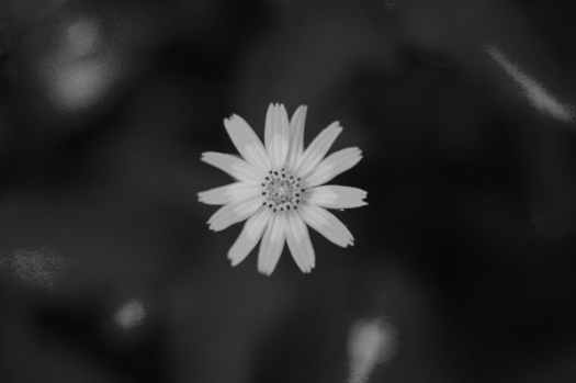 monochrome photo of daisy flower